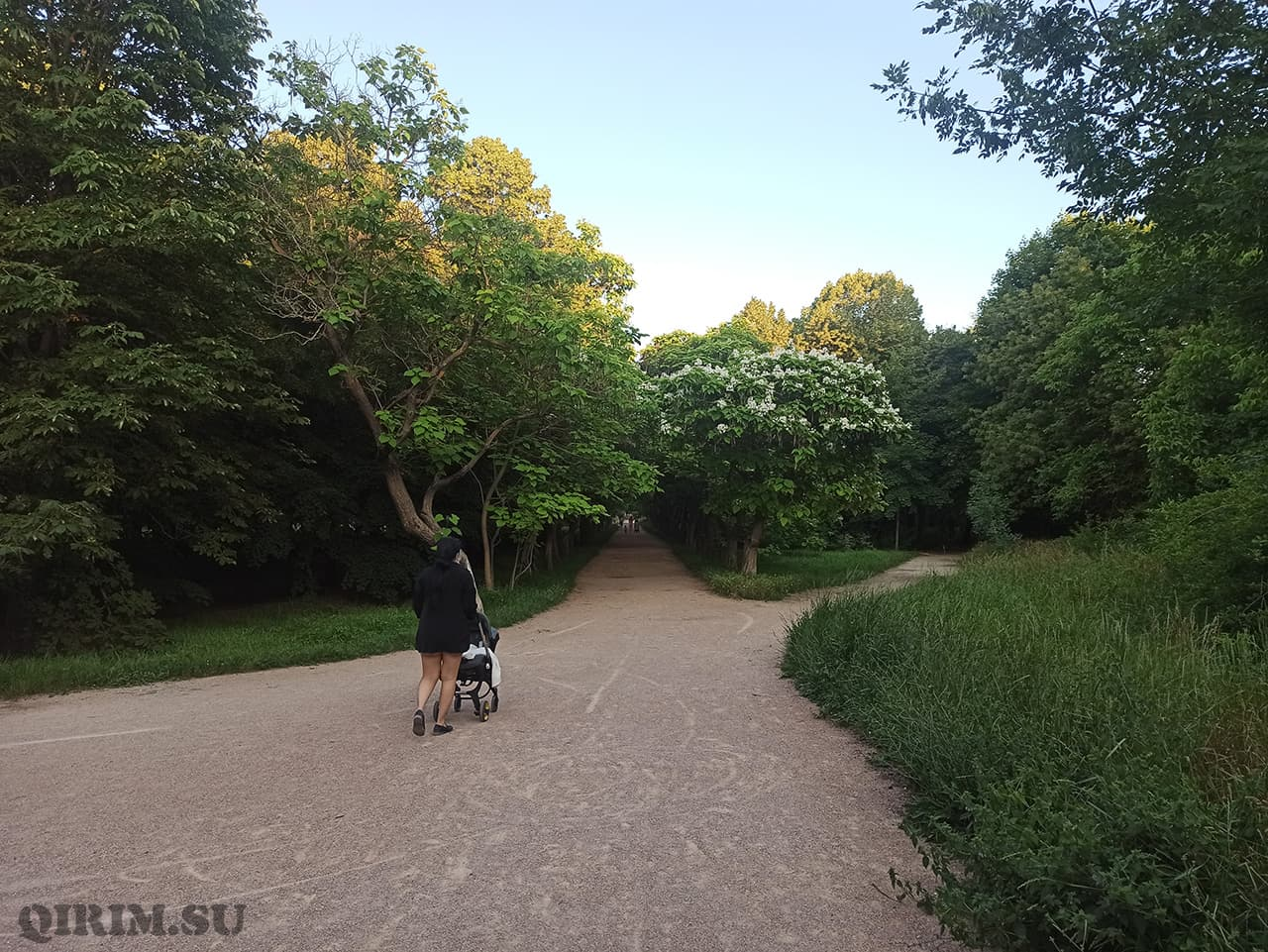 Катальповая аллея в Ботаническом саду в Симферополе