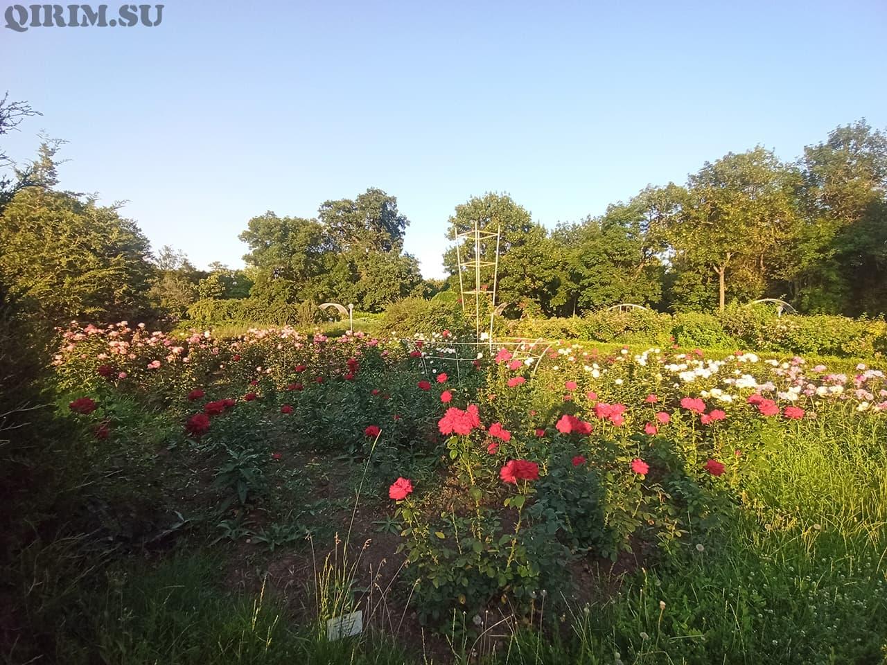 Розарий в Ботаническом саду в Симферополе 4